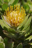 picture of fynbos  - Close up of a Protea Leucadendrons  - JPG
