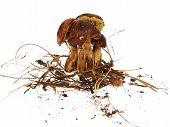 Polish Mushroom On White Background (xerocomus Badius)
