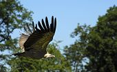 Flying Griffon Vulture