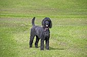 Standard black poodle with tail intact
