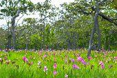 Wild Flower Siam Lily 1