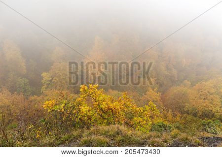 weather, ecology, autumn concept. all the forest is drowning in the morning light fog and only shoots of oak is standing out with its striking colour and nice leaves