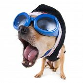 picture of bobble head  - a tiny a bobblehead chihuahua with goggles and a jacket - JPG