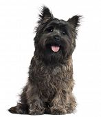 Cairn Terrier, 8 months old, sitting in front of white background