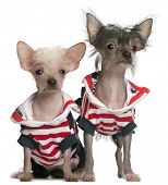 Chinese Crested puppy, 4 months old, and Chinese Crested Dog, 4 years old, dressed in red white and