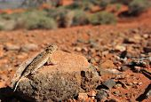 Desert Horned Lizard On Rock In Desert, Nevada, United States