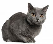 Chartreux cat, 10 months old, in front of white background