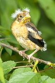 a chick of hawfinch on the branch / Coccothraustes coccothraustes