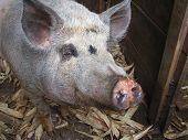 Farmyard Pig