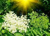 Elderflower And Nice Sunbeams In Summer.