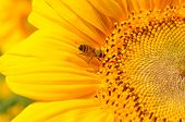 Golden Sunflower With Bee On Yellow And Black Stamens Closeup. Small Bee Gathering Yellow Pollen For poster