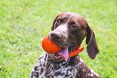 German Shorthaired Pointer, German Kurtshaar  With A Red Ball In The Mouth. Portrait Of A Dog Close- poster