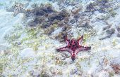 Red Starfish On Sea Shore With Seagrass. Underwater Photo Of Star Fish In Tropical Seashore. Exotic  poster