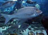Big Sea Fish