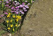 Miniture daffodils with cyclamen