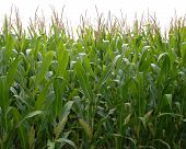 stock photo of corn stalk  - Corn crop close up view looking through the rows - JPG