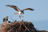 foto of osprey  - An Adult Osprey Returning to Nest with a Fish - JPG