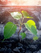 The Bodhi Tree Is A Symbol Of Buddhism, Respecting Worship Since The Era Of Buddhism.. poster