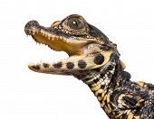 Dwarf crocodile, Osteolaemus tetraspis also know as African dwarf crocodile, broad-snouted crocodile poster