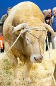 Paris - February 26: Blonde Of Aquitaine Strong Bull At The Paris International Agricultural Show 20