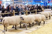 Paris - February 26: Sheep Competition At The Paris International Agricultural Show 2012 On February