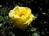 Yellow Rose, Yellow Rose On A Green Background. Photo Of Yellow Rose. poster