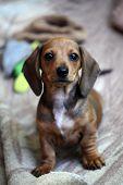 Dachshund Puppy Portrait Plaid Background Day Light poster