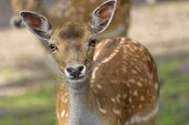 Sika Deer (cervus Nippon) Also Known As The Spotted Deer Or The Japanese Deer. Close Up. Wildlife An poster