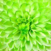 Lime Green Pom Pom Flower Square Background