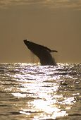 Humpback Whale Breach At Sunrise