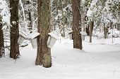 Trees with Sap Pails
