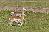 Pronghorn Antelope With Young