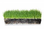 Vivid Green Grass In Soil On White Background poster