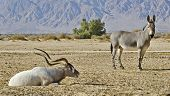 Addax in Hai-Bar Yotvata nature reserve, 25 km from Eilat, Israel