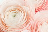 Pink Colored Feminine Peony, Rose Or Buttercup Flowers With Delicate Layered Petals Close Up. Natura poster