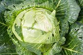 The Cabbage