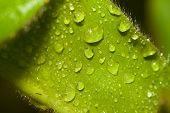 gotas de água sobre uma folha aveludada