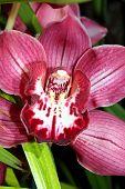Red Velvet Orchid
