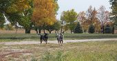 foto of heeler  - Blue heeler dogs running on the farm