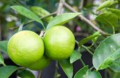stock photo of pamelo  - Pomelo fruit on the tree in Thailand - JPG