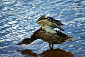 Duck Stretching in Water