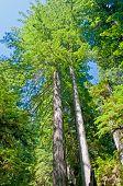 Redwood-paar in der Wildnis