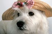 pic of westie  - white west highland terrier wearing a child - JPG