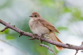image of nightingale  - Luscinia luscinia - JPG