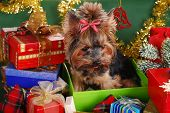 Yorkshire Dog In Christmas Gift Box