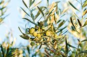 Olives On It's Tree Branch