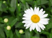Beautiful White Daisy In The Garden