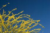 Arizona amarillo azul