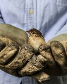 Sparrow On The Old Gloves Of A Worker
