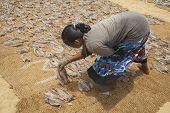 Lying Down Fish To Dry In Sri Lanka